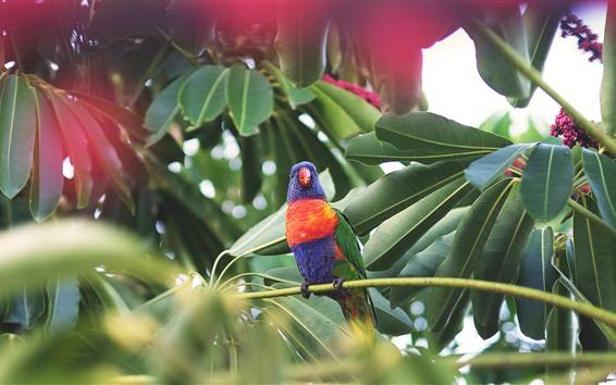 Papéis de Parede Papagaio, pássaro, árvore, folhas verdes, bagas