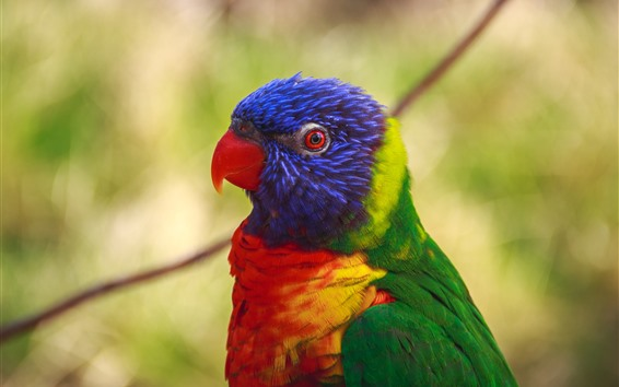 Wallpaper Parrot, head, bird, colorful feathers
