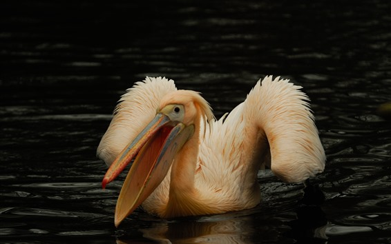 Wallpaper Pelican, bird, pond, water