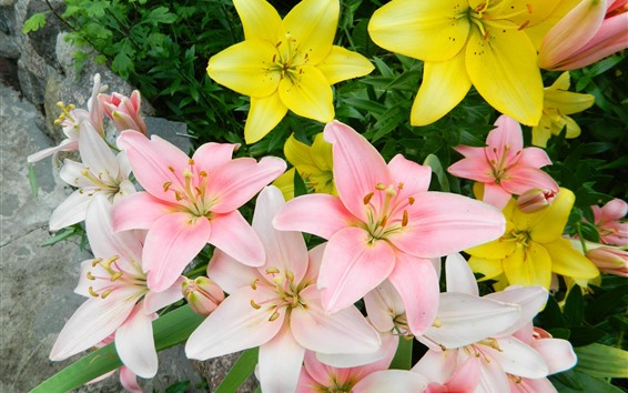 Papéis de Parede Flor de lírios rosa e amarelo