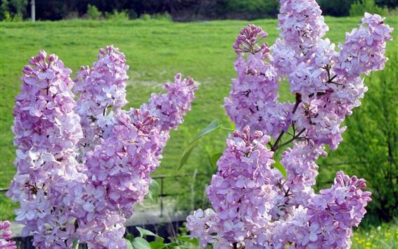 배경 화면 핑크 라일락 꽃 꽃, 봄