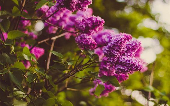 Papéis de Parede Rosa lilás flores, galhos, brilho