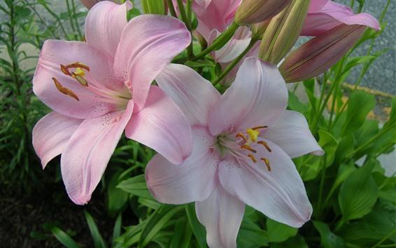 배경 화면 핑크 백합 꽃, 꽃잎, 정원