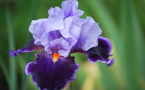 Обои Фиолетовый ирис цветок крупным планом, лепестки, туманный фон