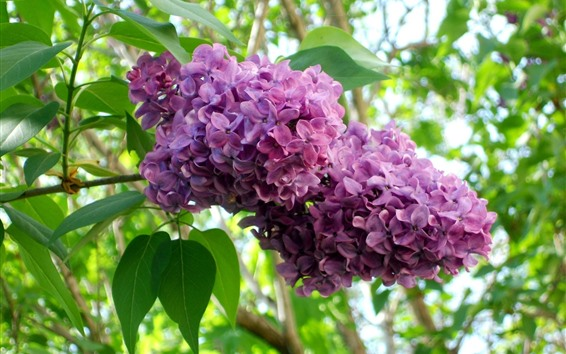 Wallpaper Purple lilac flowers bloom, green leaves, twigs