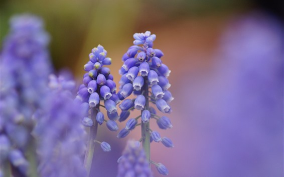 Wallpaper Purple muscari flowers, hazy