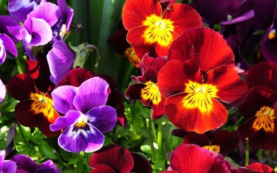 Papéis de Parede Pansies vermelhos e roxos, flores