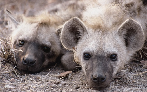 Wallpaper Two hyenas rest, head, nose