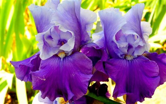 Wallpaper Two irises, purple petals, flowers