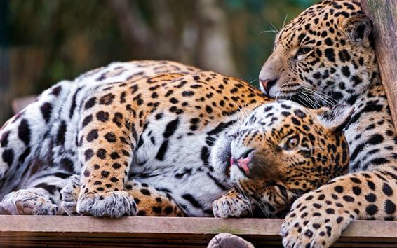 Wallpaper Two jaguars rest
