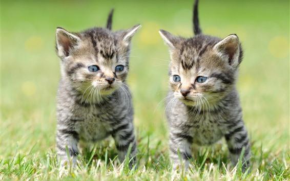 Обои Два котенка, трава, милый питомец