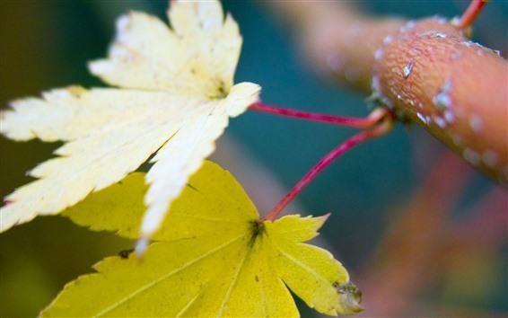 Обои Две желтые кленовые листья, ветвь дерева