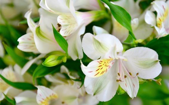 Обои Белая лилия, цветы, лепестки, макро фотография