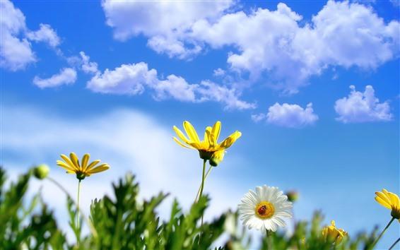 배경 화면 노란과 백색 데이지, 무당 벌레, 푸른 하늘, 구름