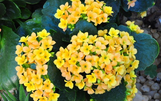 Wallpaper Yellow kalanchoe flowers