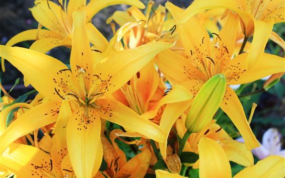 Papéis de Parede Lírio amarelo flores, pétalas, flor