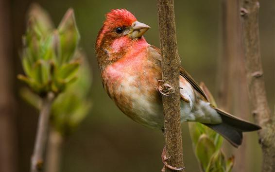 Обои Красивая птица, красное перо на голове