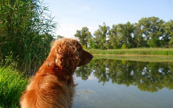 Обои Коричневая собака, вид сзади, озеро
