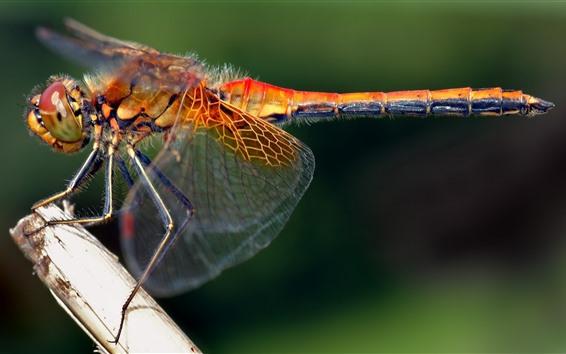 Papéis de Parede Libélula close-up, asas, inseto