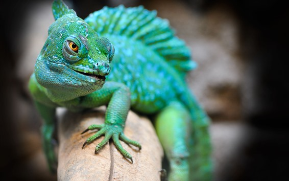 Wallpaper Green lizard, animal, hazy