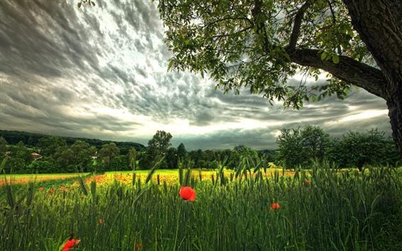 Fondos de pantalla Trigo verde, flores de amapola rojas, árboles, nubes