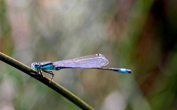 Papéis de Parede Libélula close-up de inseto, azul