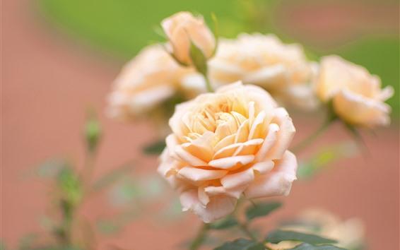 배경 화면 라이트 핑크 장미, 꽃 클로즈업, 꽃잎