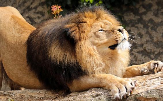 Fond d'écran Lion, crinière, repos, pierre