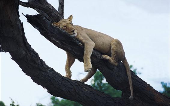 Papéis de Parede Leão dorme na árvore, céu, altura