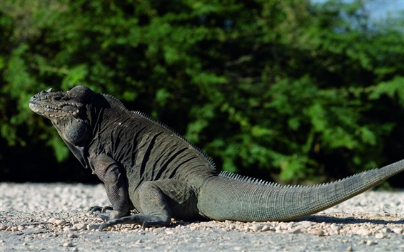 Wallpaper Lizard, reptile, rest, tail