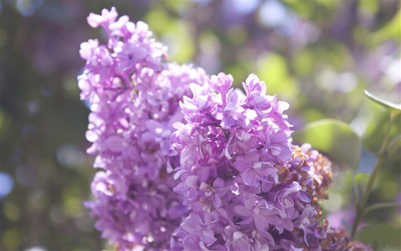 Wallpaper Many lilac flowers, pink
