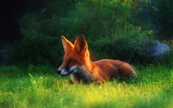 Papéis de Parede Uma raposa, grama, escondida