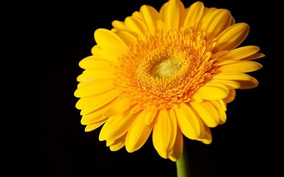 Papéis de Parede Uma flor amarela gerbera, fundo preto