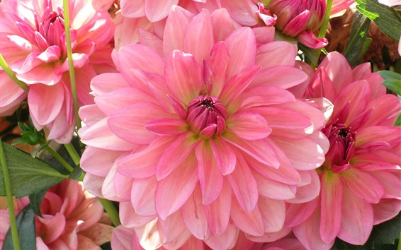 Wallpaper Pink dahlia, petals, flowers close-up