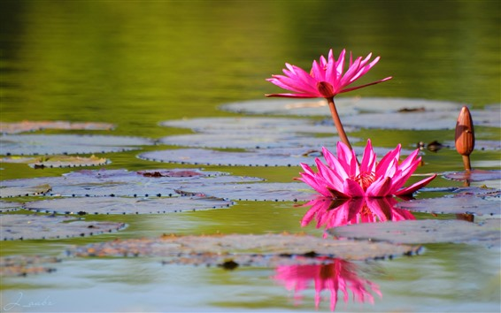 Wallpaper Pink water lily, flowers, pond, leaves