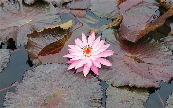 Обои Розовая кувшинка, лепестки, листья, пруд