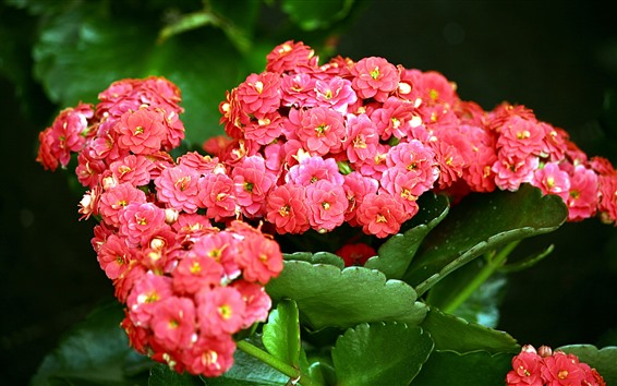 Wallpaper Red kalanchoe flowers, green leaves
