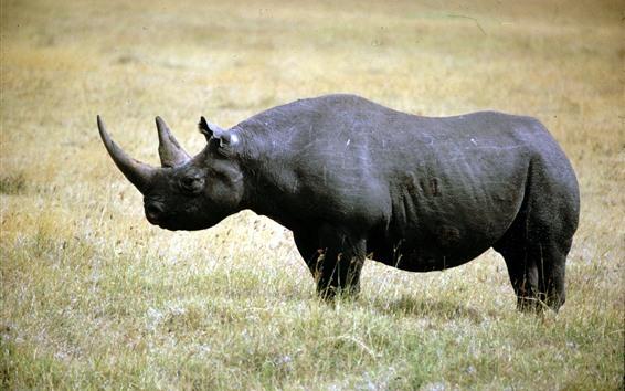 Обои Носорог, прогулка, трава, живая природа