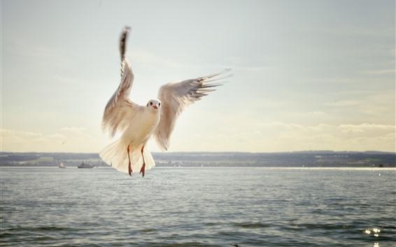 Обои Чайка, полёт, крылья, море