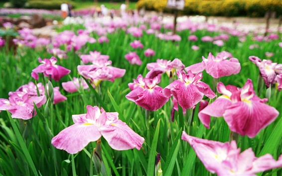 Wallpaper Some pink irises flowers