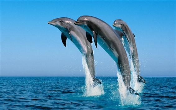 Обои Три дельфина прыгают, море, плеск воды