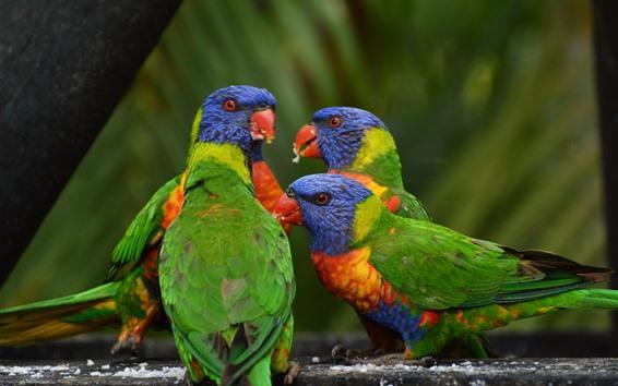 Обои Три попугая, разноцветные перья