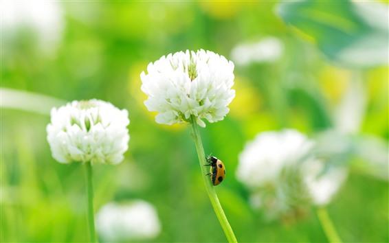 Wallpaper White clover flowers, ladybug