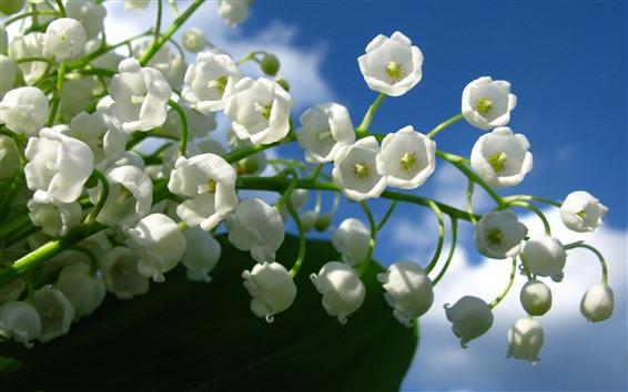 Обои Белый ландыш, цветы, голубое небо