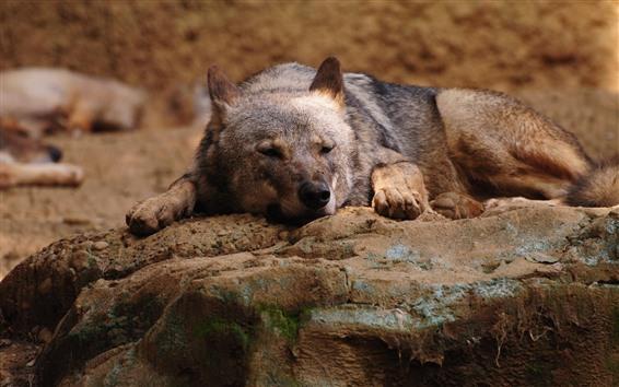 壁纸 狼,休息,岩石
