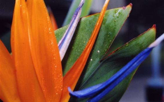 Wallpaper Bird of paradise flower, petals, colorful