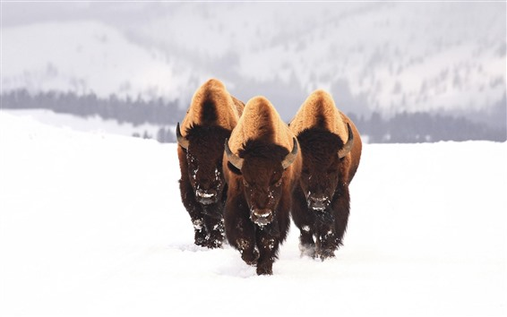 Wallpaper Bison, wildlife, snow, winter
