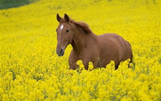 Fond d'écran Cheval brun, fleurs de colza jaune