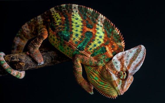 Wallpaper Chameleon, colorful, black background