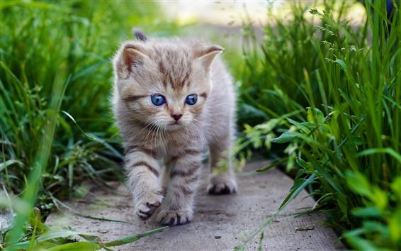 Papéis de Parede Gatinho fofo andando, olhos azuis, grama verde